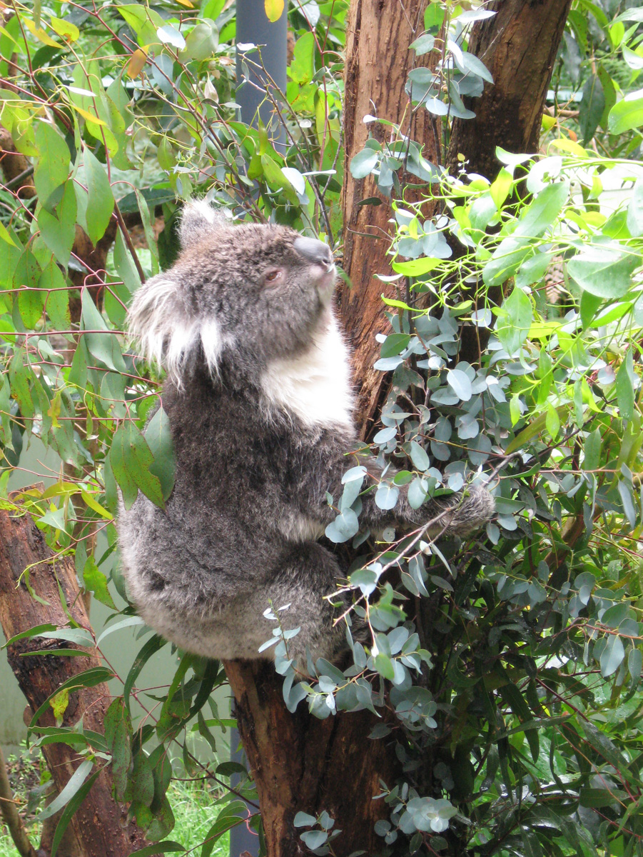 Koala\'s also share my second favourite pass-time: idling!