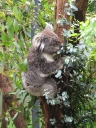 Koala\'s share my favourite pass-time: eating!