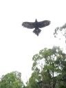 Wedge-Tailed Eagle (2)