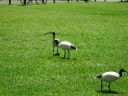Ibises roaming the lawns..